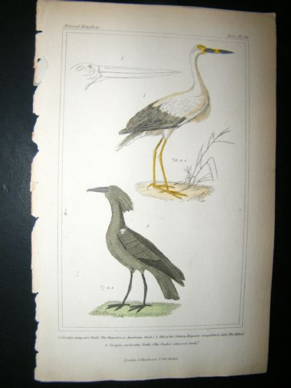 Cuvier C1835 Antique Hand Col Print. American Stark, The Jabiru, Umber-coloured Stark, 66 | Albion Prints